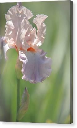 Iris Celebration Song 2. The Beauty Of Irises Canvas Print