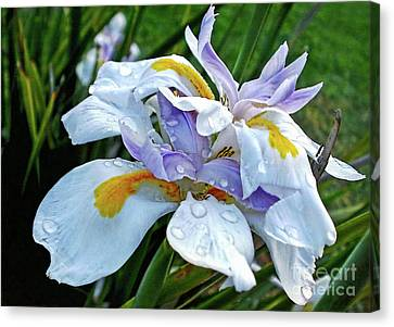 Iris Enjoying The Sunshine Canvas Print by Kaye Menner