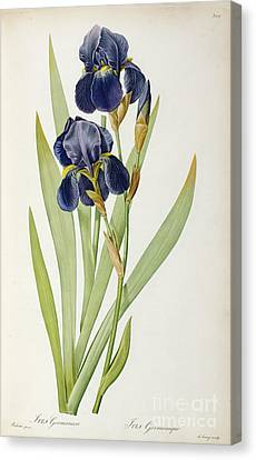 Garden Flowers Canvas Print - Iris Germanica by Pierre Joseph Redoute