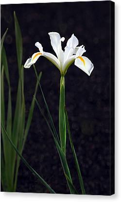 Iris In My Glory Canvas Print by James Steele
