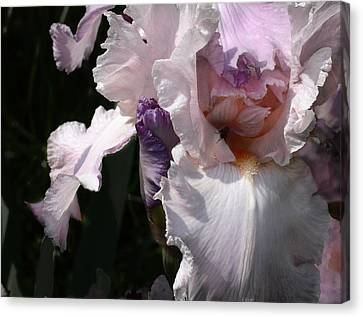 Iris Lace Canvas Print by Steve Karol