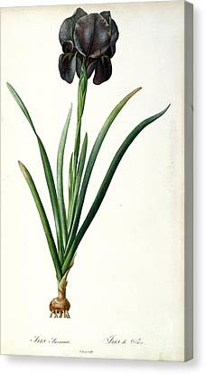Leave Canvas Print - Iris Luxiana by Pierre Joseph  Redoute