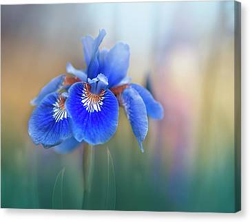 Iris Canvas Print by Magda Bognar