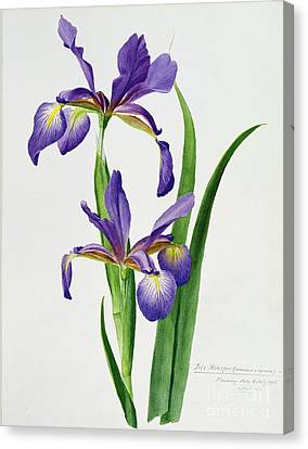 Flowers Canvas Print - Iris Monspur by Anonymous