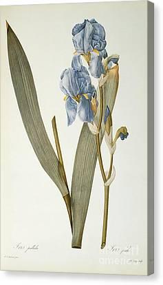 Horticultural Canvas Print - Iris Pallida by Pierre Joseph Redoute