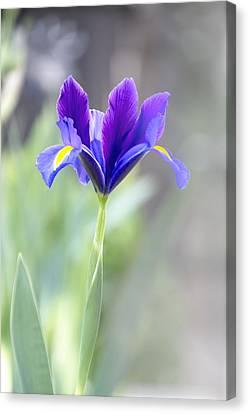 Iris Rising Canvas Print by Terry Davis