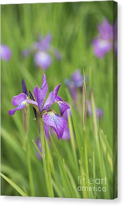 Iris Sibirica Sparkling Rose Flower Canvas Print by Tim Gainey