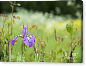 Iris Sibirica Sparkling Rose Canvas Print by Tim Gainey