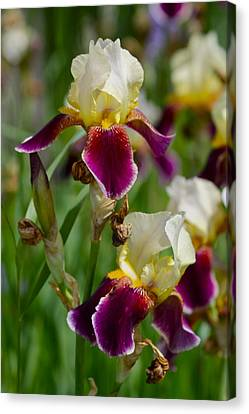 Iris Spring Canvas Print by Karon Melillo DeVega