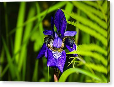 Canvas Print featuring the photograph Iris Versicolor by Mark Myhaver