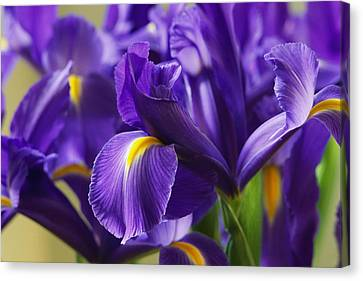 Irises, Close View, California Canvas Print by Marc Moritsch