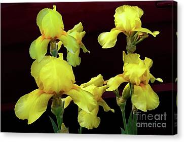 Canvas Print featuring the photograph Irises Yellow by Jasna Dragun