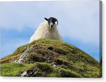Irish Sheep - King Of The Hill Canvas Print