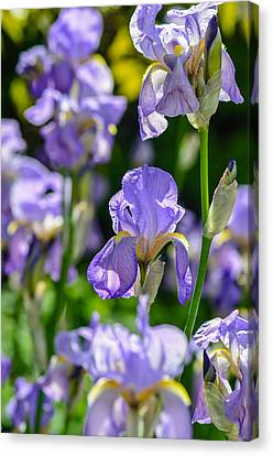 Irisses Canvas Print