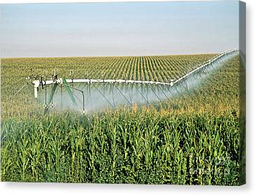 Irrigated Corn Crop Canvas Print