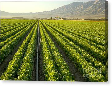 Irrigation Pipe In A Lettuce Field Canvas Print by Inga Spence