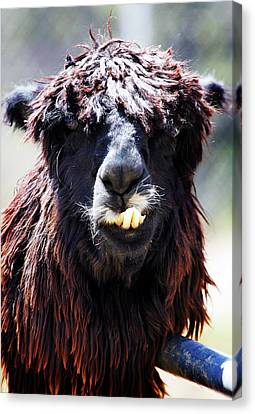 Canvas Print featuring the photograph Is Your Mama A Llama? by Anthony Jones