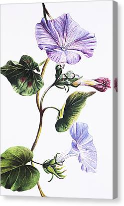 Isabella Sinclair - Pohue Canvas Print by Hawaiian Legacy Archive - Printscapes