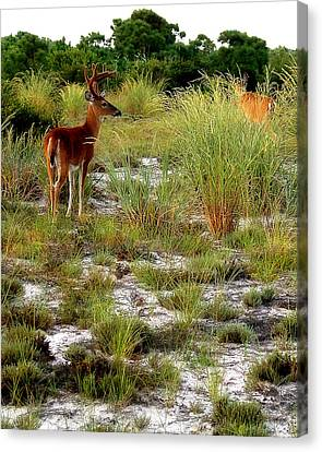 Island Deer Canvas Print by Michael Shreves