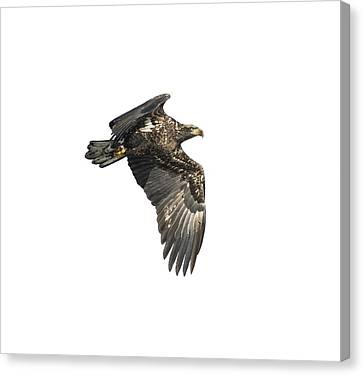 Canvas Print featuring the photograph Isolated Eagle 2017-2 by Thomas Young