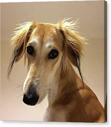 It Looks Like It Will Be A Bad Hair Day Canvas Print by John Edwards