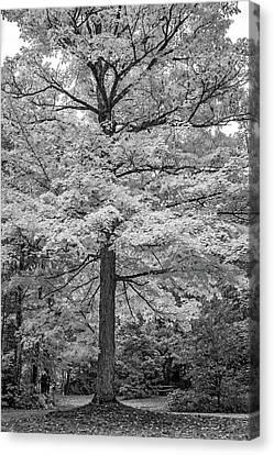 Maple Season Canvas Print - It You've Got It, Flaunt It Bw by Steve Harrington