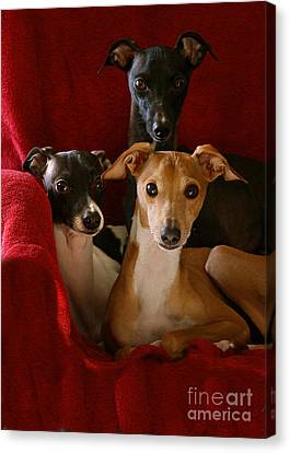 Italian Greyhound Brothers Canvas Print by Angela Rath