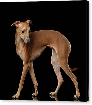 Italian Greyhound Dog Standing  Isolated Canvas Print