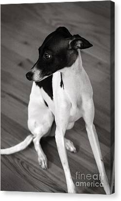 Italian Greyhound In Black And White Canvas Print by Angela Rath