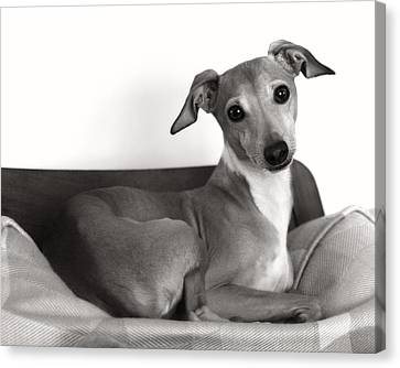 Italian Greyhound Portrait 2 In Black And White Canvas Print by Angela Rath