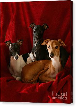 Italian Greyhound Trio 3 Canvas Print by Angela Rath