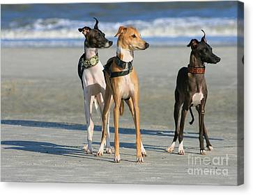 Italian Greyhounds On The Beach Canvas Print by Angela Rath