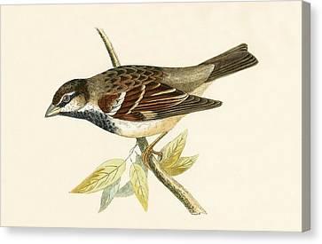 Italian House Sparrow Canvas Print by English School