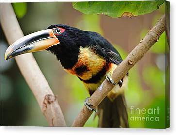 It's All About The Beak Canvas Print by Charles Dobbs