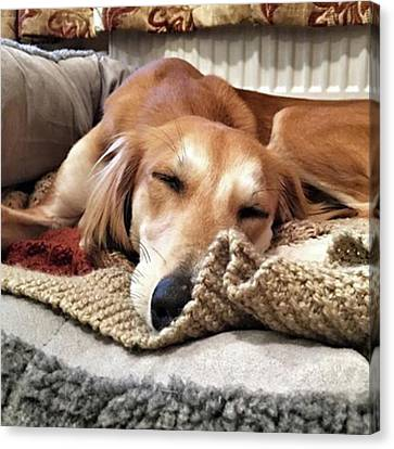 It's Been A Hard Day...  #saluki Canvas Print