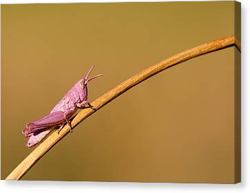It's Not Easy Being Pink Canvas Print by Roeselien Raimond