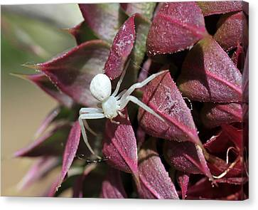 Canon 7d Canvas Print - Itsy Bitsy Spider by Donna Kennedy