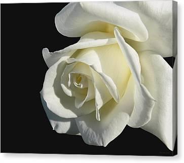 Ivory Rose Flower On Black Canvas Print
