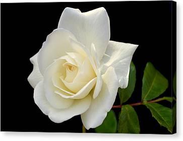 Ivory Rose. Canvas Print