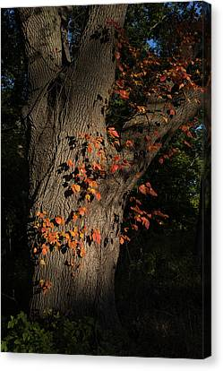 Ivy In The Fall Canvas Print