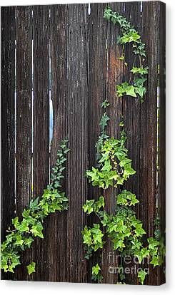 Clayton Canvas Print - Ivy On Fence by Clayton Bruster