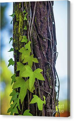 Ivy On Pine Tree Canvas Print by Carlos Caetano