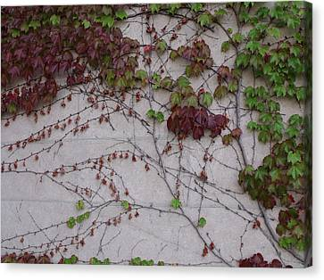 Ivy Wall II Canvas Print