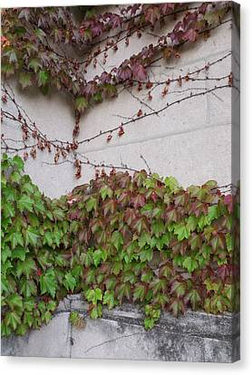 Ivy Wall IIi Canvas Print