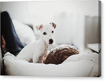 Jack Russell Terrier Puppy With His Owner Canvas Print by Lifestyle photographer