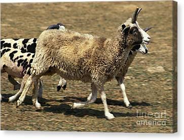 Jacob Sheep Canvas Print by Gerard Lacz