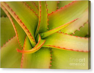 Jagged Aloe Canvas Print