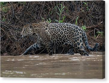 Canvas Print featuring the photograph Jaguar In River by Wade Aiken