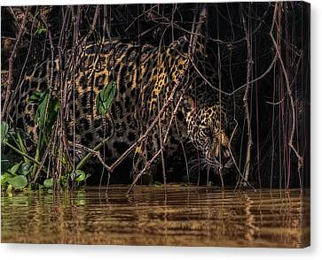 Canvas Print featuring the photograph Jaguar In Vines by Wade Aiken