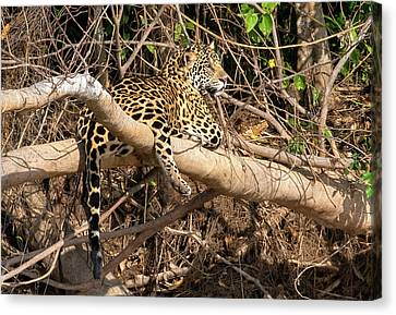 Canvas Print featuring the photograph Jaguar In Repose by Wade Aiken